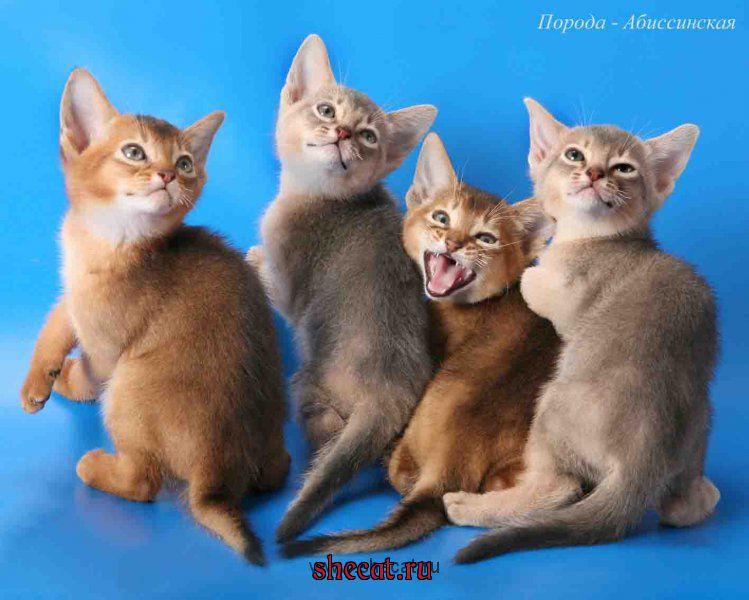 Уход за абиссинского котенка