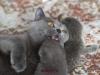 Британские котята 2