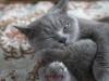 Британские котята 8
