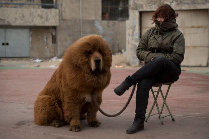 Щенок тибетского мастифа
