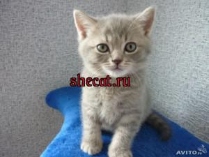 Купить котенка Краснодар недорого